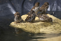 Swimming sparrows Royalty Free Stock Image