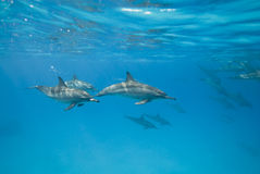 Swimming Spinner Dolphins In The Wild. Royalty Free Stock Images