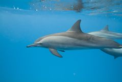 Swimming Spinner dolphins in the wild. Swimming Spinner dolphins (Stenella longirostris) in the wild. Sataya, Southern Red Sea, Egypt Stock Photography