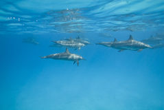 Swimming Spinner dolphins in the wild. Swimming Spinner dolphins (Stenella longirostris) in the wild. Sataya, Southern Red Sea, Egypt Royalty Free Stock Image