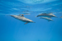 Swimming Spinner dolphins in the wild. Swimming Spinner dolphins (Stenella longirostris) in the wild. Sataya, Southern Red Sea, Egypt Royalty Free Stock Photo
