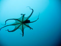 Swimming squid Royalty Free Stock Images