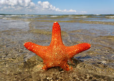 Swimming starfish. Stock Photos