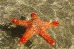 Swimming starship. Swimming starship in a warm sea water Royalty Free Stock Images