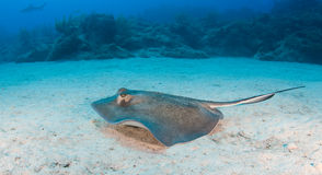 Swimming Sting Ray Stock Photography