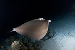 Swimming sting ray in night dive Stock Photography