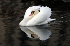 Swimming swan Royalty Free Stock Image