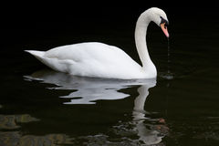 Free Swimming Swan Royalty Free Stock Photos - 24885838