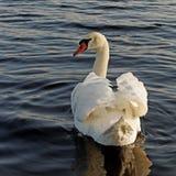 Swimming swan. Stock Photo