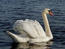 Swimming swan. Stock Photography