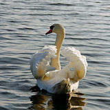 Swimming swan. Stock Photos