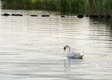 Free Swimming Swan Royalty Free Stock Photography - 31524507