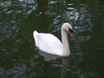 Swimming Swan Royalty Free Stock Photography