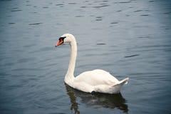 A swimming swan Stock Photo