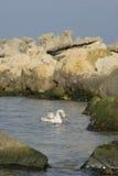 Swimming Swan Stock Photography
