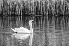 Swimming Swan In Black And White Stock Photos