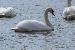 Swimming Swan. This is a swan swimming in the lake on a sunny day Royalty Free Stock Photo