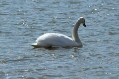 Swimming Swan. This is a swan swimming in the lake on a sunny day Royalty Free Stock Photography
