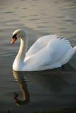 Swimming swan on the lake Royalty Free Stock Photos