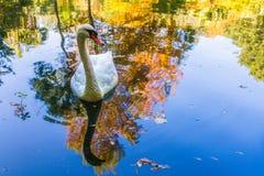 Swimming Swan stock image