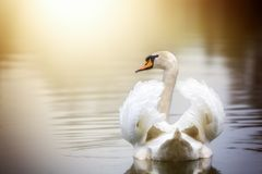 Swimming swan. A swan is swimming on a lake with its wings slightly open Royalty Free Stock Photography