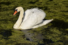 Swimming swan in the water Stock Images