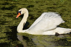 Swimming swan in the water Stock Image