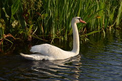Swimming swan in the water Royalty Free Stock Photo