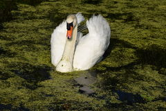 Swimming swan in the water Royalty Free Stock Image