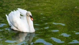 Swimming swan royalty free stock image