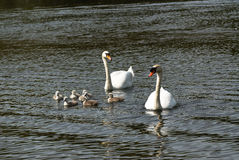 Swimming Swans Royalty Free Stock Image