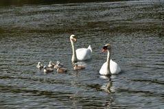 Swimming Swans Royalty Free Stock Image