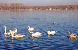Swimming Swans And Flying Pigeons On The Danube River Royalty Free Stock Photo
