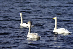 Swimming Swans Stock Images