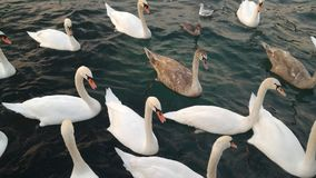 Swimming swans. Many swimming swans follow the leader on the green lake Stock Image