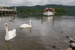 Swimming Swans, Pier and Boat in Lake on Bowness-on-Windermere, Stock Photos