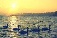 Swimming swans on sunset Royalty Free Stock Photography