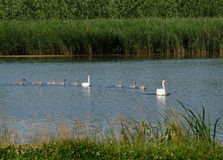 Swimming swans Royalty Free Stock Images