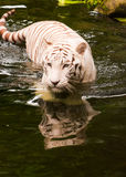 Swimming  Tiger. A bengal white tiger swimming in a moat as seen at the zoo Royalty Free Stock Photo