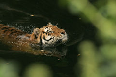 Swimming Tiger. (Panthera tigris); shallow depth of field with foliage foreground Royalty Free Stock Image