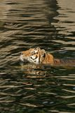 Swimming tiger. Tiger swimming in a lake Royalty Free Stock Images