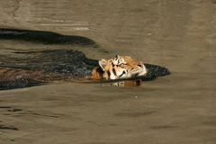 Swimming tiger. Tiger swimming in a lake Royalty Free Stock Photos