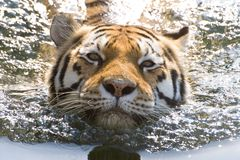 Swimming Tiger. Relaxation in summertime (hidden power stock photos