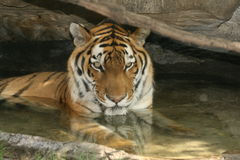 Swimming tiger Royalty Free Stock Images