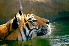 Swimming tiger. Close-up Stock Photography