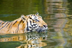 Swimming Tiger Royalty Free Stock Photos