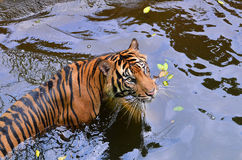Swimming. A tiger swimming in the pool stock photo