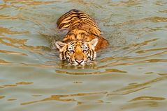 Swimming tiger Stock Images