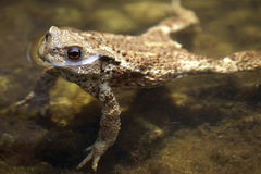 Swimming toad Royalty Free Stock Photo