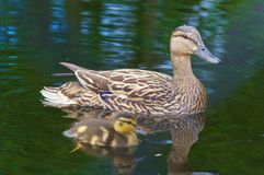 Swimming Together with Mom. Mallard duck family. Teaching the young how to swim Royalty Free Stock Photography